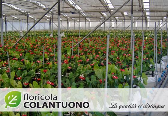 Floricola Colantuono